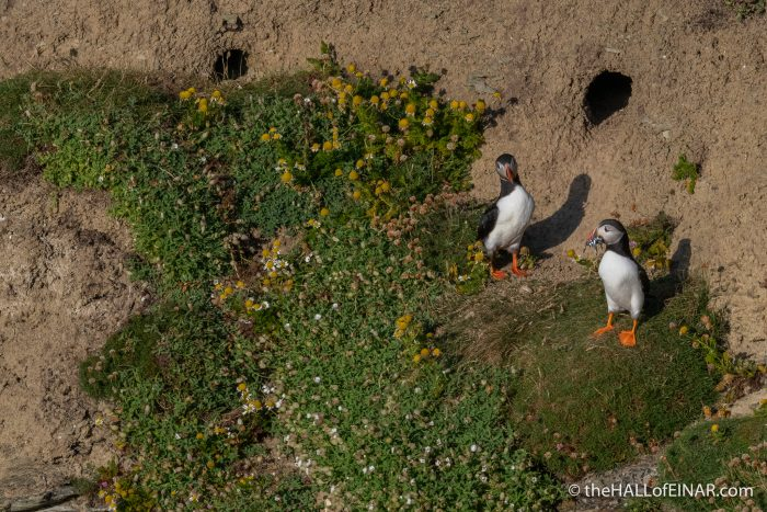 Puffins - Westray - The Hall of Einar - photograph (c) David Bailey (not the)