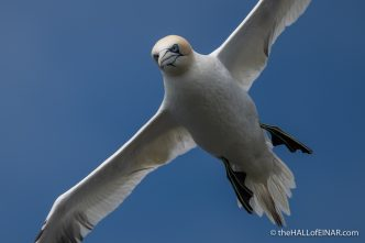 Gannet - Westray - The Hall of Einar - photograph (c) David Bailey (not the)