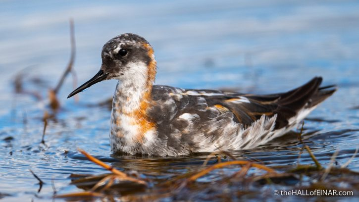Red-Necked Phalarope - Westray - The Hall of Einar - photograph (c) David Bailey (not the)