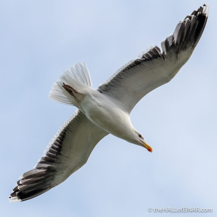 Great Black Backed Gull - Westray - The Hall of Einar - photograph (c) David Bailey (not the)