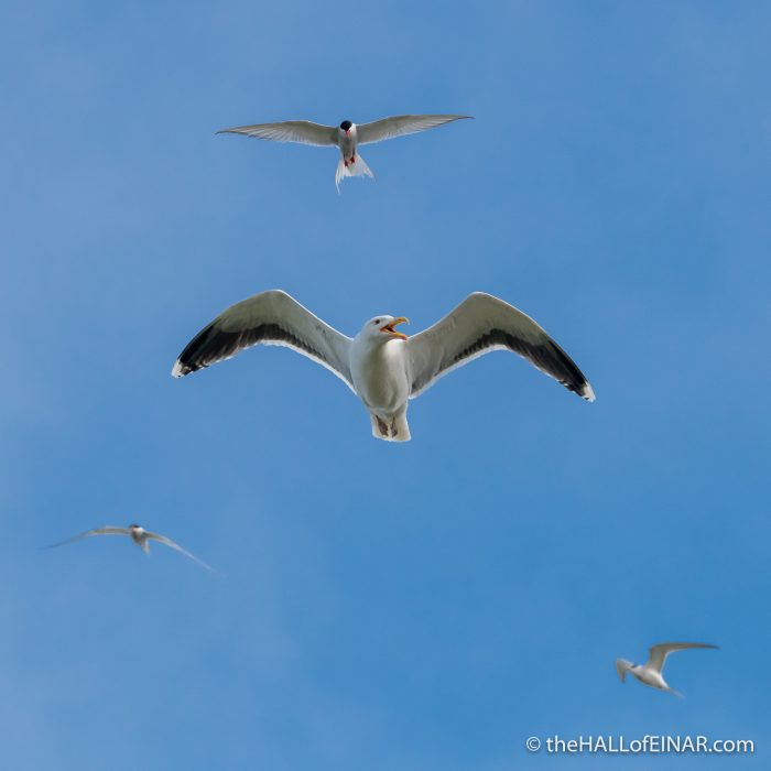 Arctic Terns and Great Black Backed Gull - Westray - The Hall of Einar - photograph (c) David Bailey (not the)