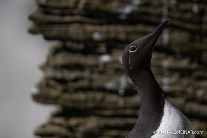 Bridled Guillemot - Westray - The Hall of Einar - photograph (c) David Bailey (not the)