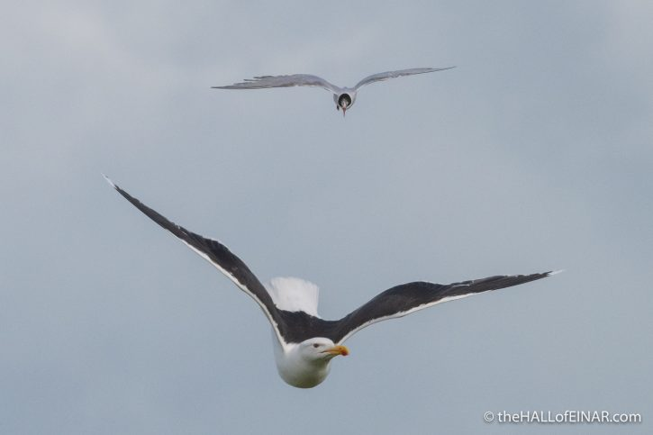 Arctic Tern and Great Black Backed Gull - Westray - The Hall of Einar - photograph (c) David Bailey (not the)