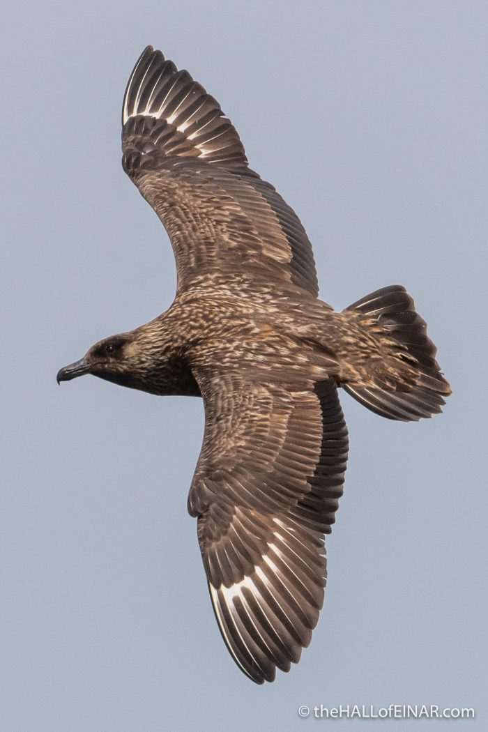 Great Skua - Westray - The Hall of Einar - photograph (c) David Bailey (not the)