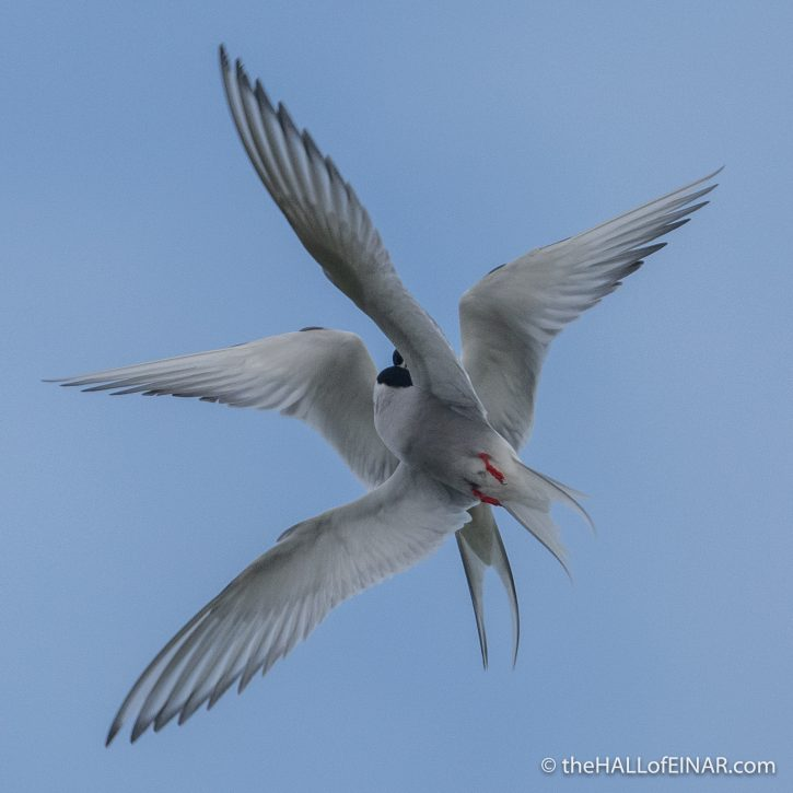 Arctic Tern - Westray - The Hall of Einar - photograph (c) David Bailey (not the)