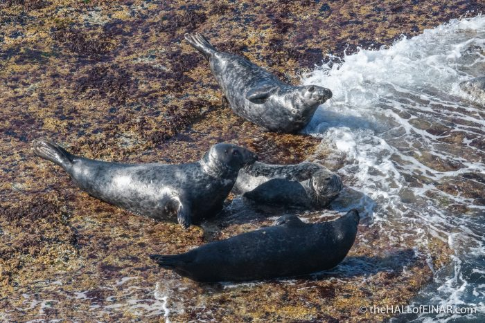Grey Seals - Westray - The Hall of Einar - photograph (c) David Bailey (not the)