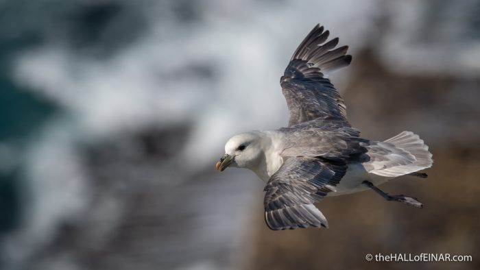 Fulmar - Westray - The Hall of Einar - photograph (c) David Bailey (not the)