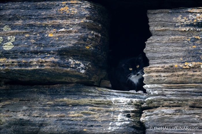 Feral Cat - Westray - The Hall of Einar - photograph (c) David Bailey (not the)
