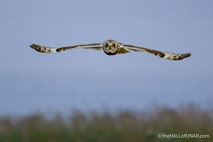Short Eared Owl - The Hall of Einar - photograph (c) David Bailey (not the)