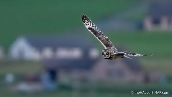 Short Eared Owl - The Hall of Einar - photograph (c) David Bailey (not the)