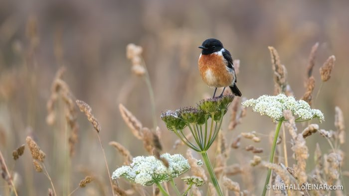 Stonechat Ring of Brodgar - The Hall of Einar - photograph (c) David Bailey (not the)