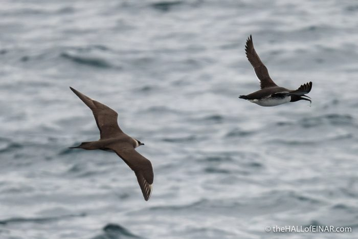 Arctic Skua hunting Guillemot for fish - The Hall of Einar - photograph (c) David Bailey (not the)