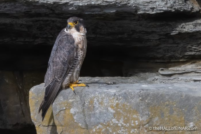 Peregrine - The Hall of Einar - photograph (c) David Bailey (not the)
