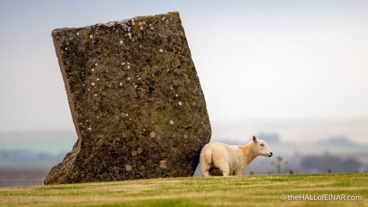 Stenness Sheep - The Hall of Einar - photograph (c) David Bailey (not the)