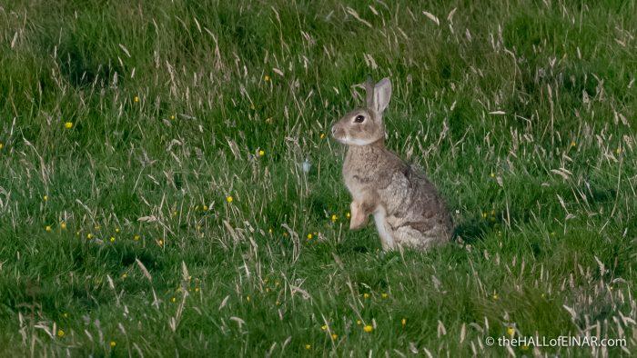 Rabbit - The Hall of Einar - photograph (c) David Bailey (not the)