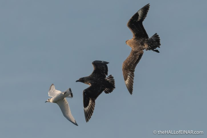 Great Skuas and Kittiwake - The Hall of Einar - photograph (c) David Bailey (not the)