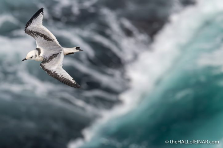 Juvenile Kittiwake - The Hall of Einar - photograph (c) David Bailey (not the)