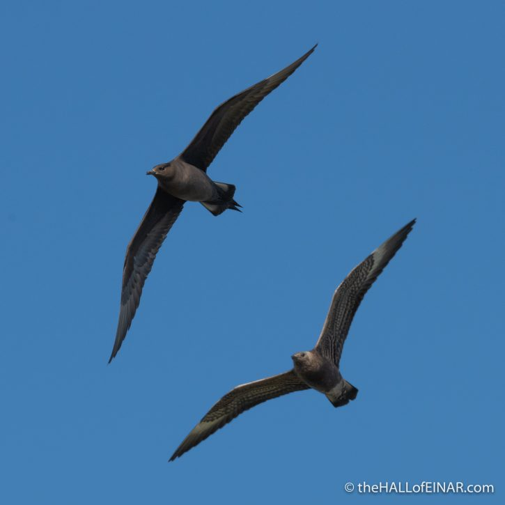 Arctic Skua and juvenile - The Hall of Einar - photograph (c) David Bailey (not the)