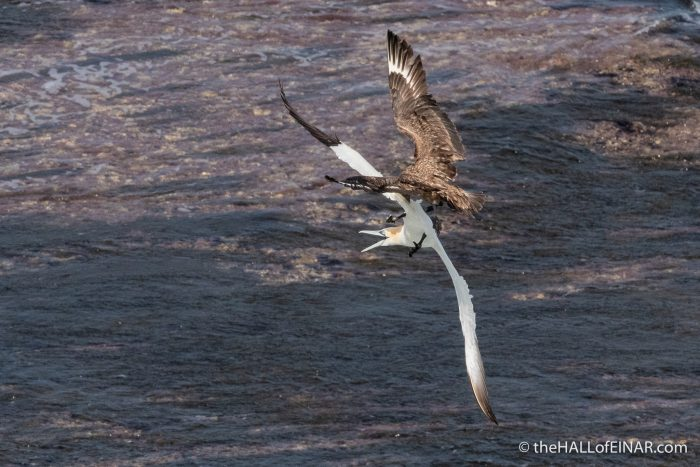 Great Skua and Gannet - The Hall of Einar - photograph (c) David Bailey (not the)