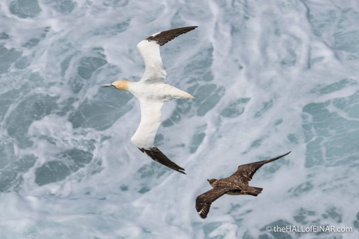 Great Skua and Gannet on Westray - The Hall of Einar - photograph (c) David Bailey (not the)
