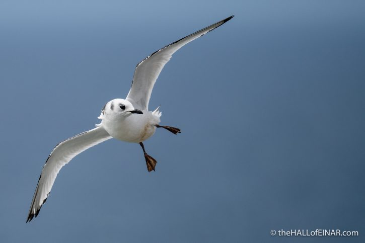 Kittiwake on Westray - The Hall of Einar - photograph (c) David Bailey (not the)