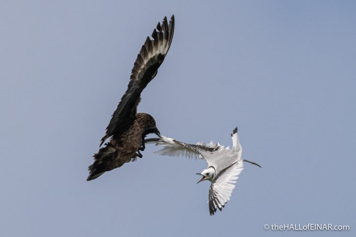 Great Skua and Kittiwake on Westray - The Hall of Einar - photograph (c) David Bailey (not the)