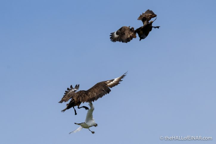 Great Skuas and Kittiwake on Westray - The Hall of Einar - photograph (c) David Bailey (not the)