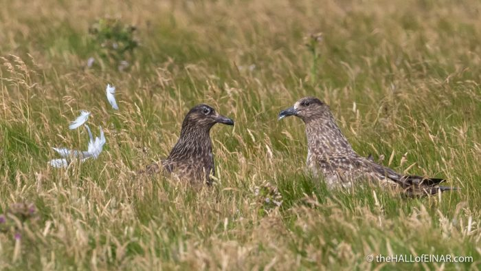 Great Skuas on Westray - The Hall of Einar - photograph (c) David Bailey (not the)