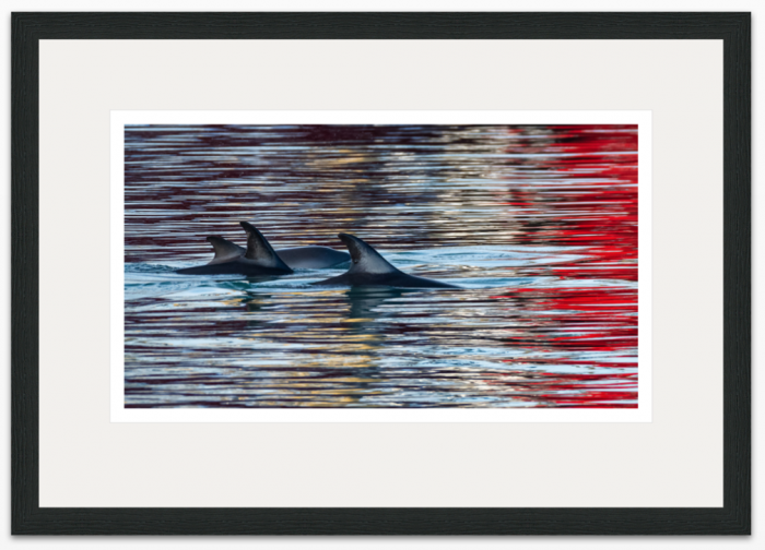 36 x 20cm - Dolphins in Brixham Harbour - The Hall of Einar