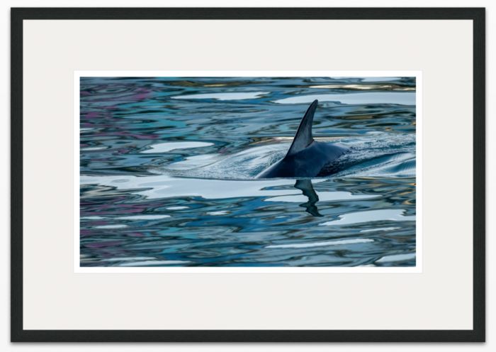 53 x 30cm Dolphin Reflections - The Hall of Einar