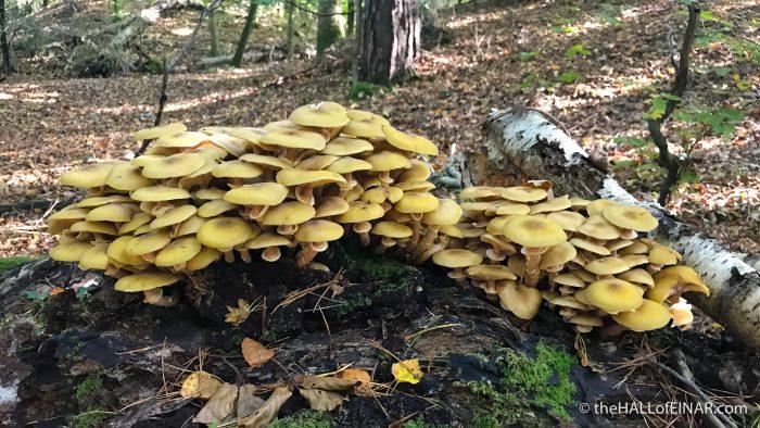 Honey Fungus - Bovey Heath - The Hall of Einar - photograph (c) David Bailey (not the)