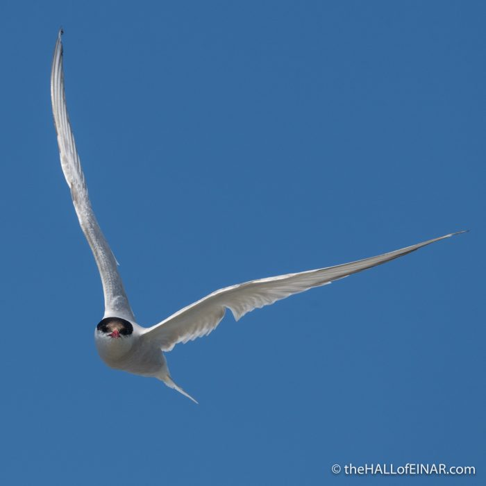 Arctic Tern on Papay - The Hall of Einar - photograph (c) David Bailey (not the)