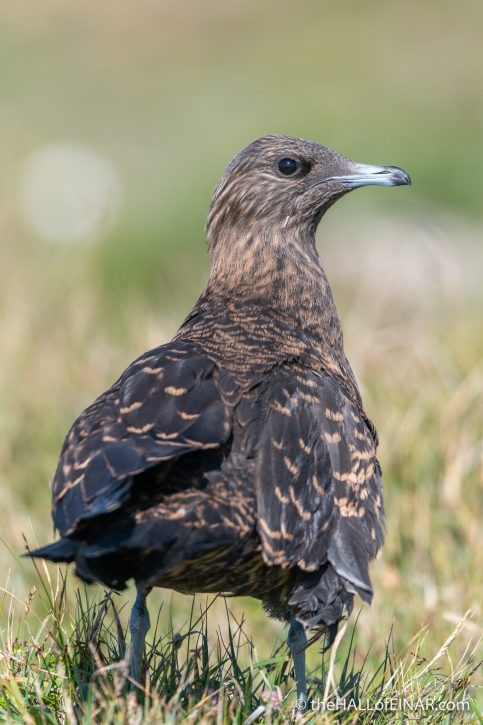 Arctic Skua on Papay - The Hall of Einar - photograph (c) David Bailey (not the)