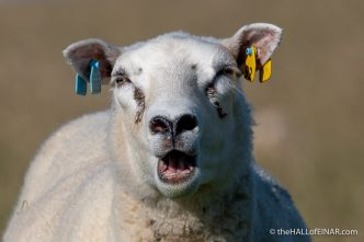 Sheep - The Hall of Einar - photograph (c) David Bailey (not the)