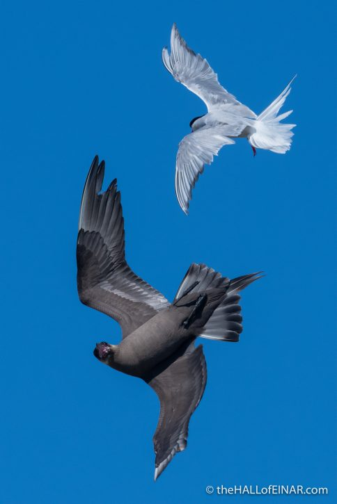 Arctic Tern and Arctic Skua on Papay - The Hall of Einar - photograph (c) David Bailey (not the)