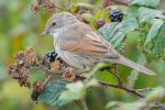 Whitethroat at Slapton Ley - The Hall of Einar - photograph (c) David Bailey (not the)