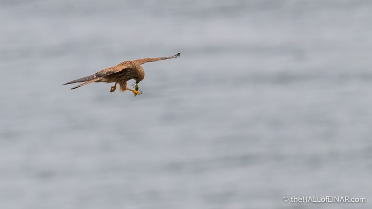 Kestrel at Start Point - The Hall of Einar - photograph (c) David Bailey (not the)