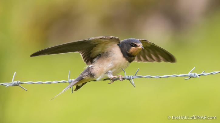 Juvenile Swallow - The Hall of Einar - photograph (c) David Bailey (not the)