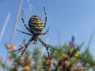 Wasp Spider - The Hall of Einar - photograph (c) David Bailey (not the)
