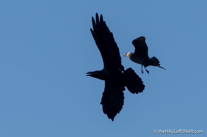 Raven and Arctic Skua - The Hall of Einar - photograph (c) David Bailey (not the)
