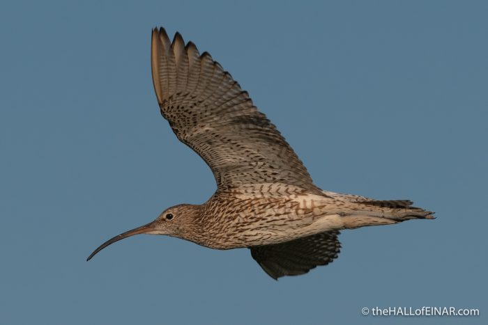 Curlew - The Hall of Einar - photograph (c) David Bailey (not the)