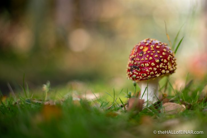 Amanita muscaria - The Hall of Einar - photograph (c) David Bailey (not the)