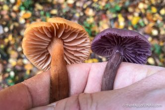 Laccaria laccata and Laccaria amethystina - The Hall of Einar - photograph (c) David Bailey (not the)
