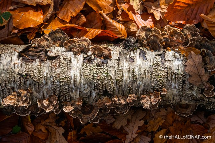 Trametes versicolor - The Hall of Einar - photograph (c) David Bailey (not the)80