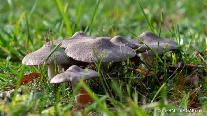 Tricholoma terreum - The Hall of Einar - photograph (c) David Bailey (not the)
