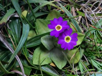 Scottish Primrose - The Hall of Einar - photograph (c) David Bailey (not the)