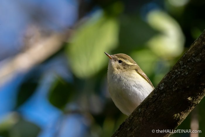 Yellow-Browed Warbler - The Hall of Einar - photograph (c) David Bailey (not the)