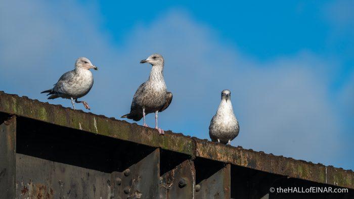 Herring Gulls - The Hall of Einar - photograph (c) David Bailey (not the)
