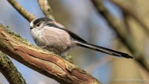 Long-Tailed Bushtit - The Hall of Einar - photograph (c) David Bailey (not the)