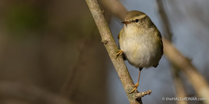 Yellow Browed Warbler - The Hall of Einar - photograph (c) David Bailey (not the)